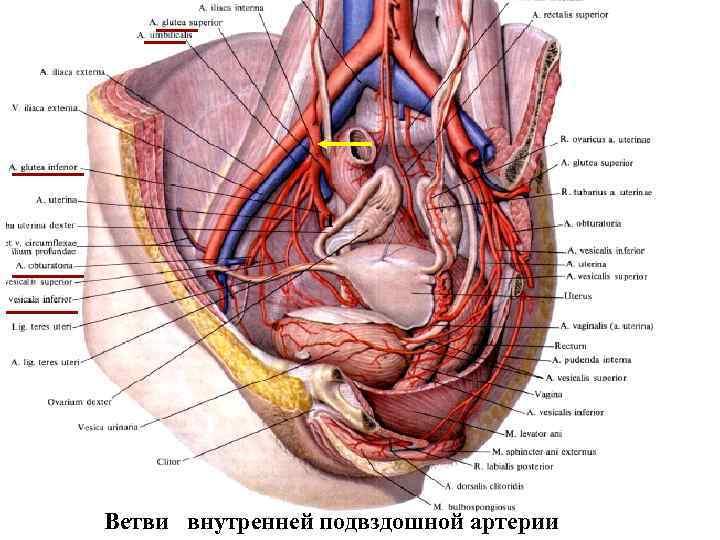 4. Фиксирующий аппарат яичника 1 Ветви внутренней подвздошной артерии