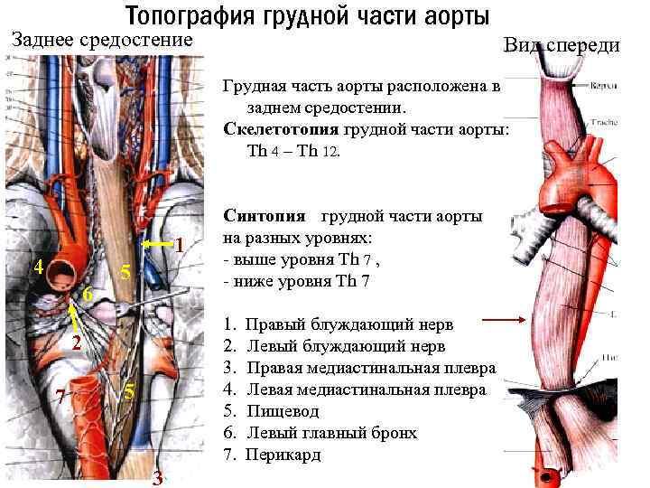 Топография грудной части аорты Заднее средостение Вид спереди Грудная часть аорты расположена в заднем