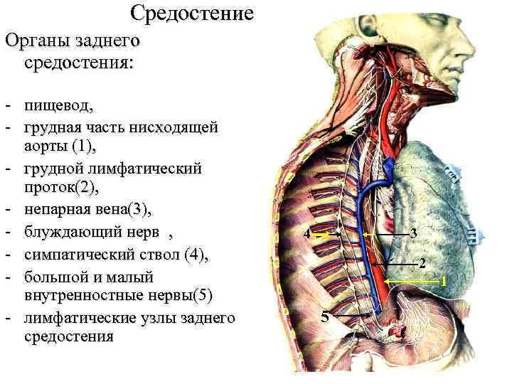 Средостение Органы заднего средостения: - пищевод, - грудная часть нисходящей аорты (1), - грудной