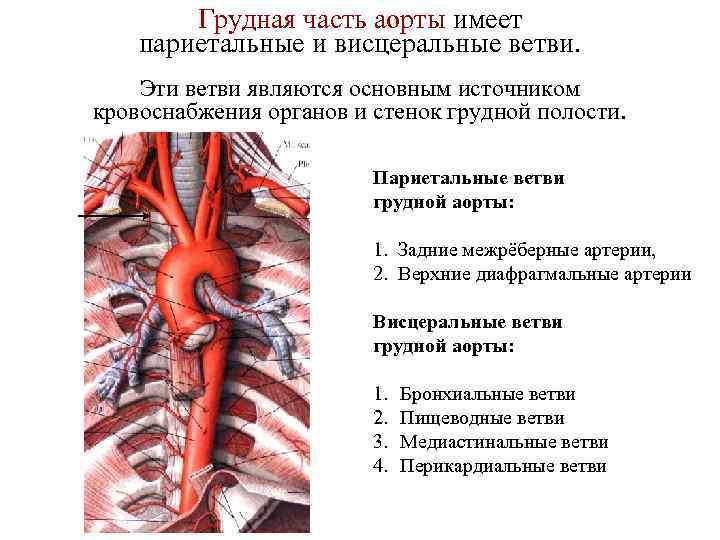 Грудная часть аорты имеет париетальные и висцеральные ветви. Эти ветви являются основным источником кровоснабжения