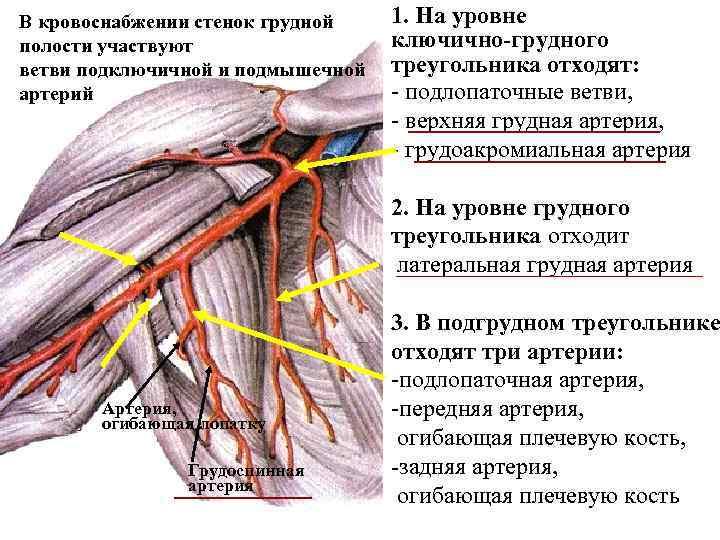 В кровоснабжении стенок грудной полости участвуют ветви подключичной и подмышечной артерий 1. На уровне