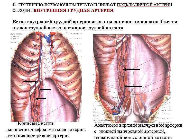 В ЛЕСТНИЧНО-ПОЗВОНОЧНОМ ТРЕУГОЛЬНИКЕ ОТ ПОДКЛЮЧИЧНОЙ АРТЕРИИ ОТХОДИТ ВНУТРЕННЯЯ ГРУДНАЯ АРТЕРИЯ. Ветви внутренней грудной артерии
