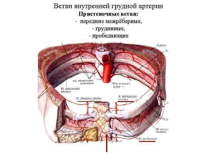 Ветви внутренней грудной артерии Пристеночные ветви: - передние межрёберные, - грудинные, - прободающие
