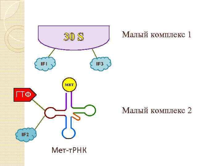Малый комплекс 1 30 S IF 1 IF 3 МЕТ ГТФ Малый комплекс 2