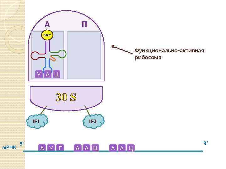 А П Мет Функционально-активная рибосома У А Ц 30 S IF 1 м. РНК
