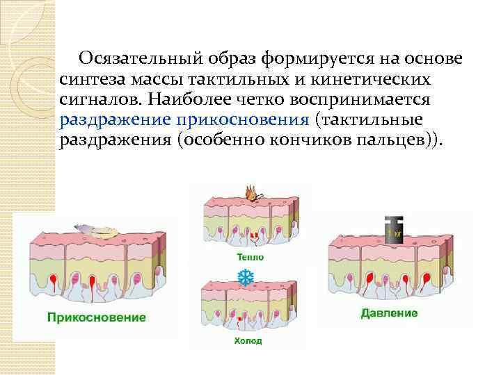 Осязательный образ формируется на основе синтеза массы тактильных и кинетических сигналов. Наиболее четко воспринимается