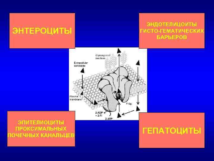 ЭНТЕРОЦИТЫ ЭНДОТЕЛИЦОИТЫ ГИСТО-ГЕМАТИЧЕСКИХ БАРЬЕРОВ ЭПИТЕЛИОЦИТЫ ПРОКСИМАЛЬНЫХ ПОЧЕЧНЫХ КАНАЛЬЦЕВ ГЕПАТОЦИТЫ