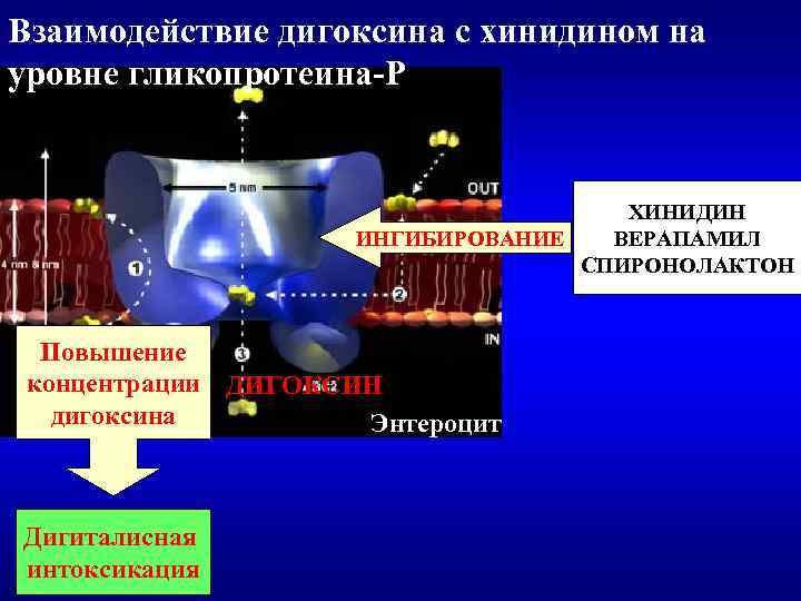 Взаимодействие дигоксина с хинидином на уровне гликопротеина-Р ХИНИДИН ИНГИБИРОВАНИЕ ВЕРАПАМИЛ СПИРОНОЛАКТОН Повышение концентрации ДИГОКСИН