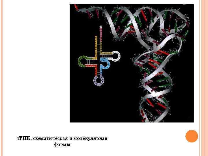 т. РНК, схематическая и молекулярная формы