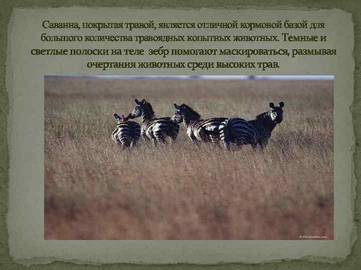 Саванна, покрытая травой, является отличной кормовой базой для большого количества травоядных копытных животных. Темные