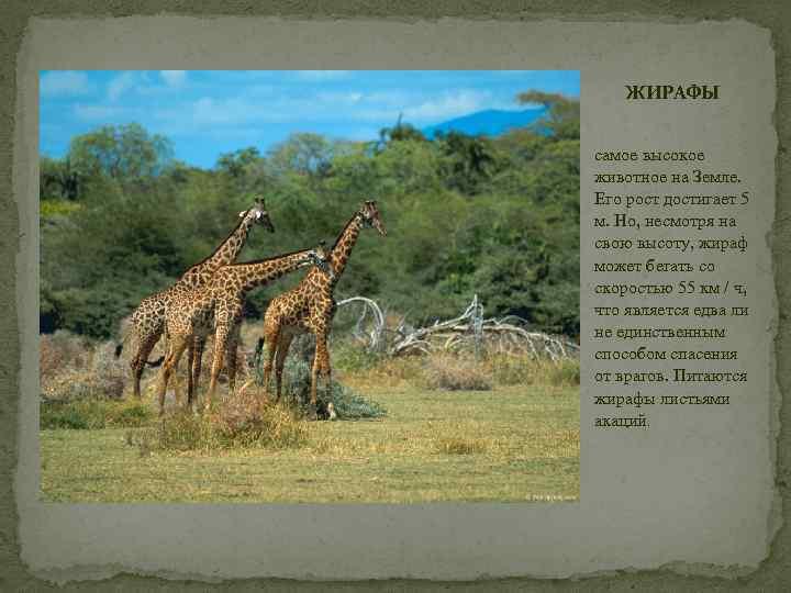 ЖИРАФЫ самое высокое животное на Земле. Его рост достигает 5 м. Но, несмотря на