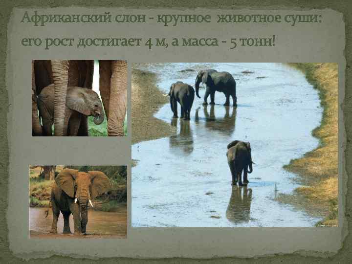 Африканский слон - крупное животное суши: его рост достигает 4 м, а масса -