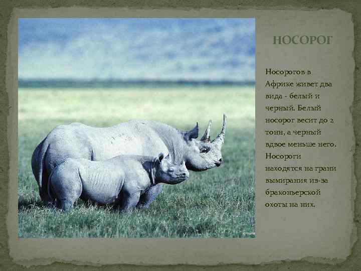 НОСОРОГ Носорогов в Африке живет два вида - белый и черный. Белый носорог весит