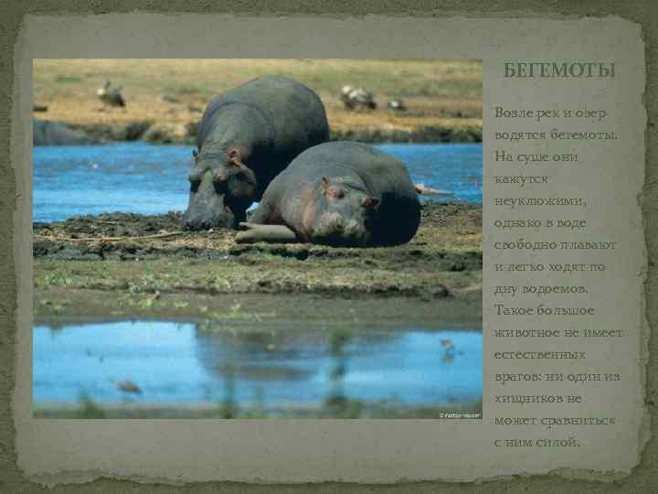 БЕГЕМОТЫ Возле рек и озер водятся бегемоты. На суше они кажутся неуклюжими, однако в