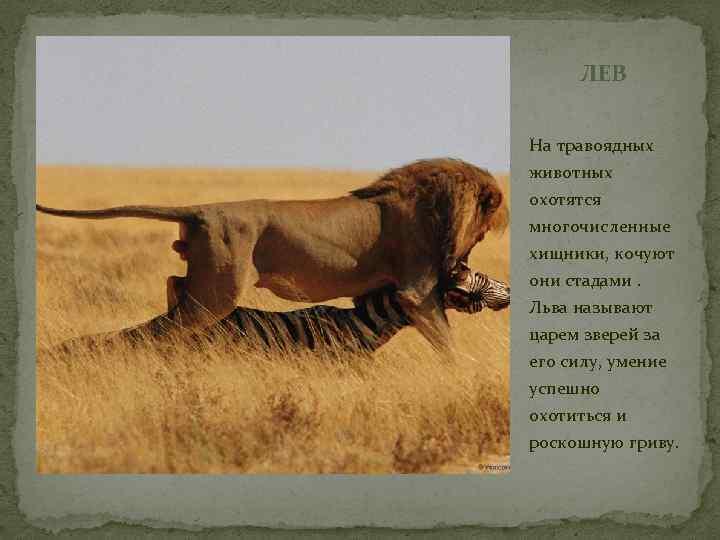 ЛЕВ На травоядных животных охотятся многочисленные хищники, кочуют они стадами. Льва называют царем зверей