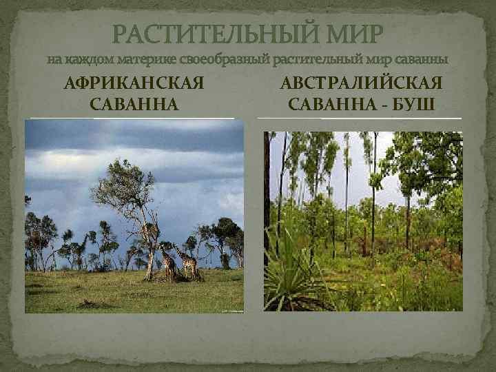 РАСТИТЕЛЬНЫЙ МИР на каждом материке своеобразный растительный мир саванны АФРИКАНСКАЯ САВАННА АВСТРАЛИЙСКАЯ САВАННА -