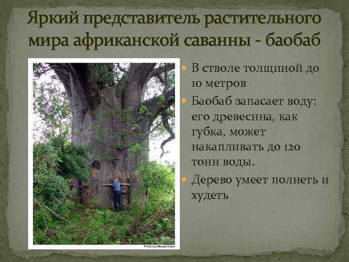 Яркий представитель растительного мира африканской саванны - баобаб В стволе толщиной до 10 метров