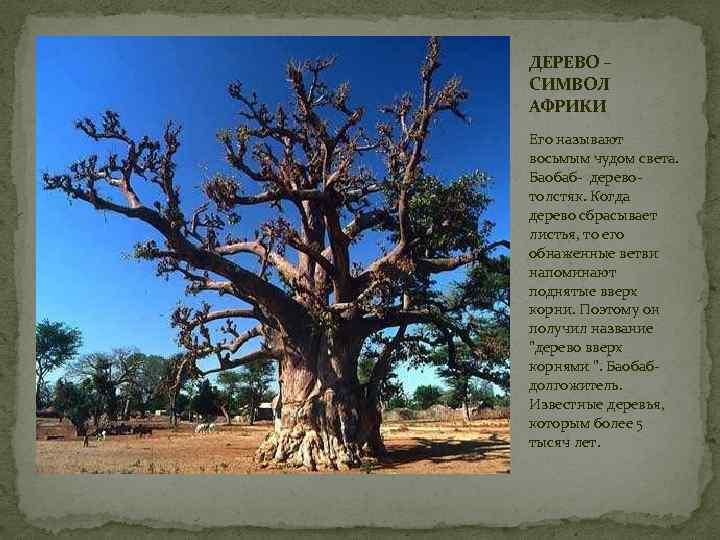 ДЕРЕВО – СИМВОЛ АФРИКИ Его называют восьмым чудом света. Баобаб- деревотолстяк. Когда дерево сбрасывает