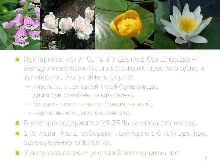 n Нектарники могут быть и у цветков без шпорцев – между лепестками (или листочками