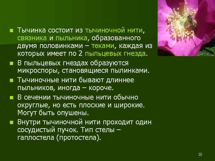 n n n Тычинка состоит из тычиночной нити, связника и пыльника, образованного двумя половинками