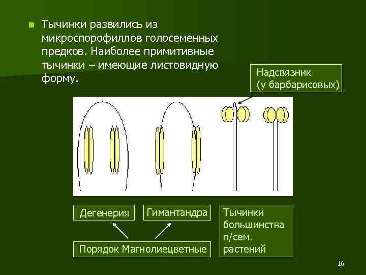 n Тычинки развились из микроспорофиллов голосеменных предков. Наиболее примитивные тычинки – имеющие листовидную форму.