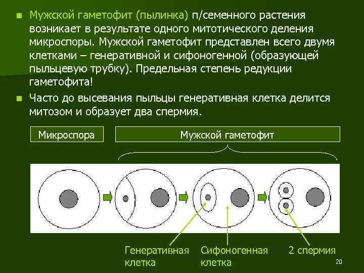 Мужской гаметофит (пылинка) п/семенного растения возникает в результате одного митотического деления микроспоры. Мужской гаметофит