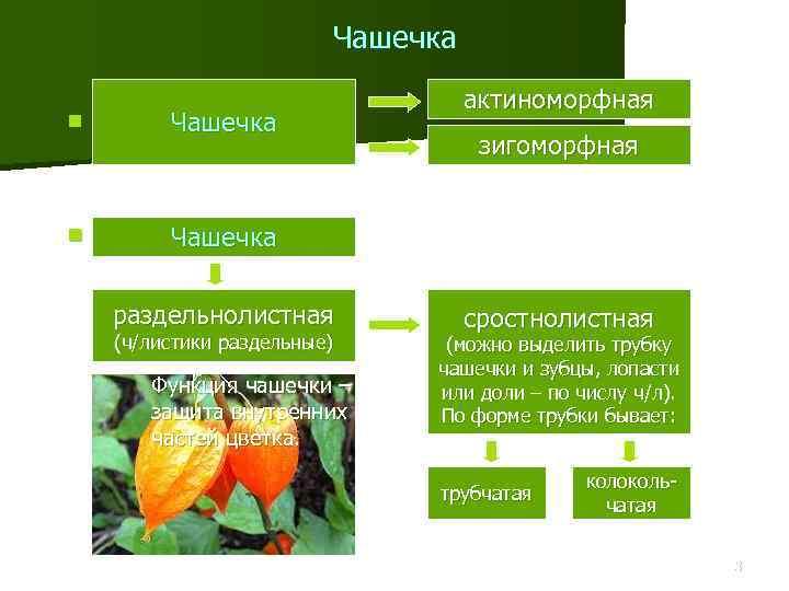 Чашечка n Ч актиноморфная Чашечка раздельнолистная (ч/листики раздельные) Функция чашечки – защита внутренних частей