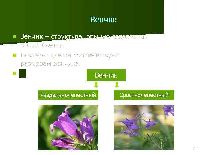 Венчик – структура, обычно создающая облик цветка. n Размеры цветка соответствуют размерам венчика. n