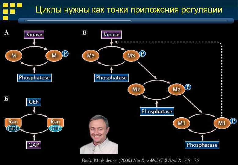Циклы нужны как точки приложения регуляции А В Б Boris Kholodenko (2006) Nat Rev