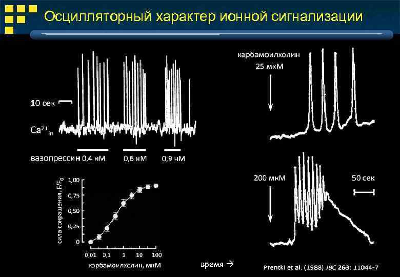 Осцилляторный характер ионной сигнализации время