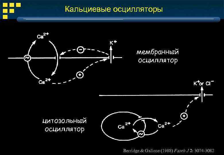 Кальциевые осцилляторы мембранный осциллятор цитозольный осциллятор Berridge & Galione (1988) Faseb J 2: 3074