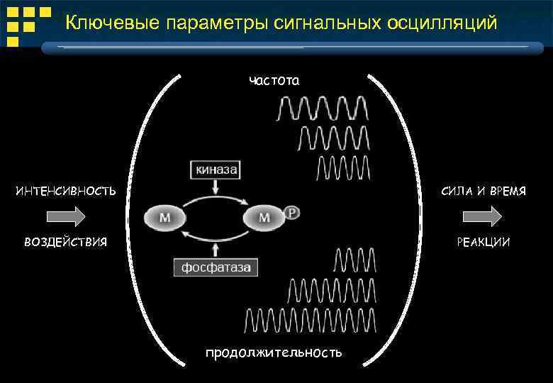 Ключевые параметры сигнальных осцилляций частота ИНТЕНСИВНОСТЬ СИЛА И ВРЕМЯ ВОЗДЕЙСТВИЯ РЕАКЦИИ продолжительность