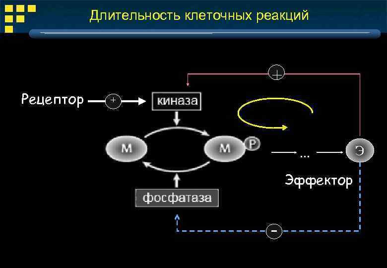 Длительность клеточных реакций + Рецептор + . . . Эффектор - Э