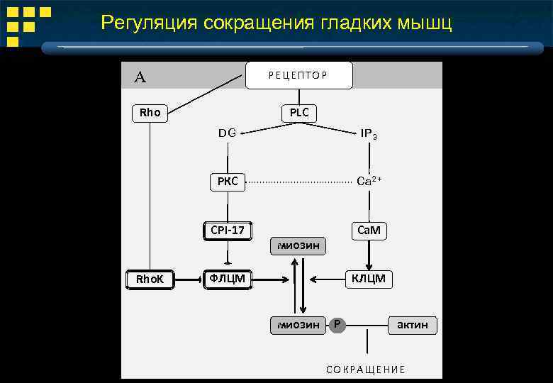 Регуляция сокращения гладких мышц А РЕЦ Е ПТ ОР PLC Rho DG РКС Ca