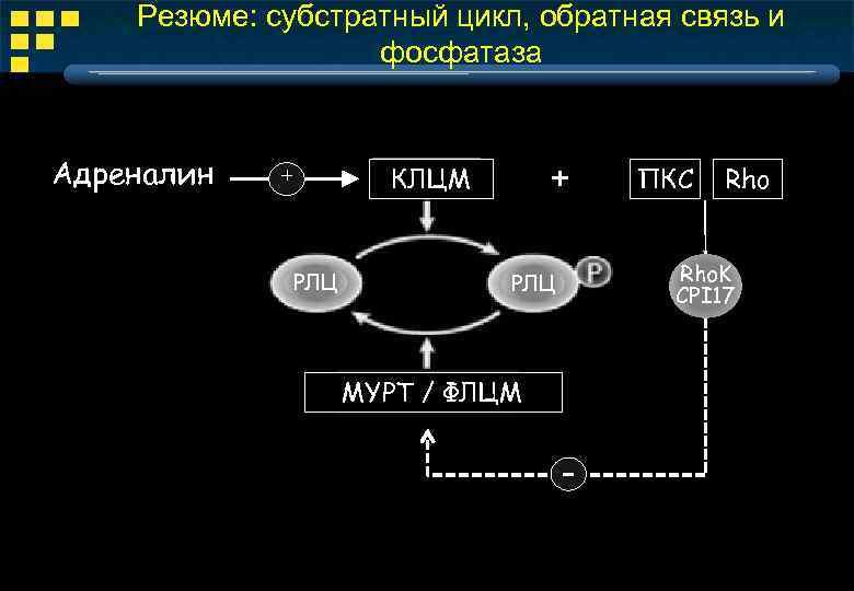 Резюме: субстратный цикл, обратная связь и фосфатаза Адреналин + КЛЦМ + РЛЦ ПКС Rho.