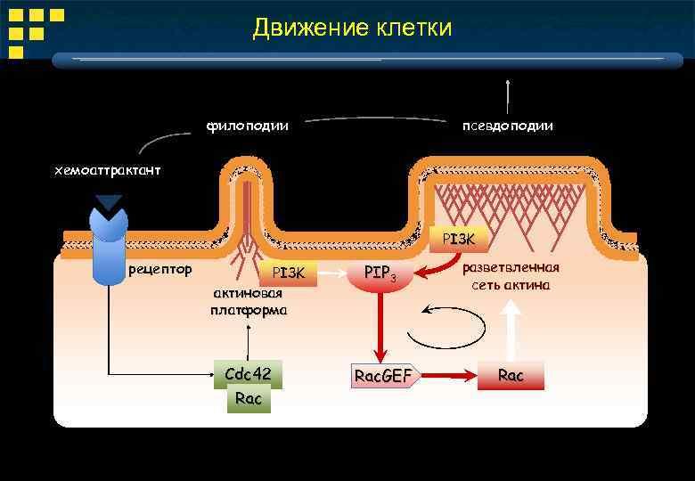 Движение клетки филоподии псевдоподии хемоаттрактант PI 3 K рецептор PI 3 K актиновая платформа