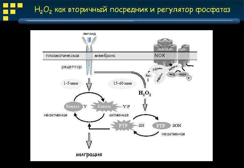 H 2 O 2 как вторичный посредник и регулятор фосфатаз лиганд плазматическая мембрана NOX