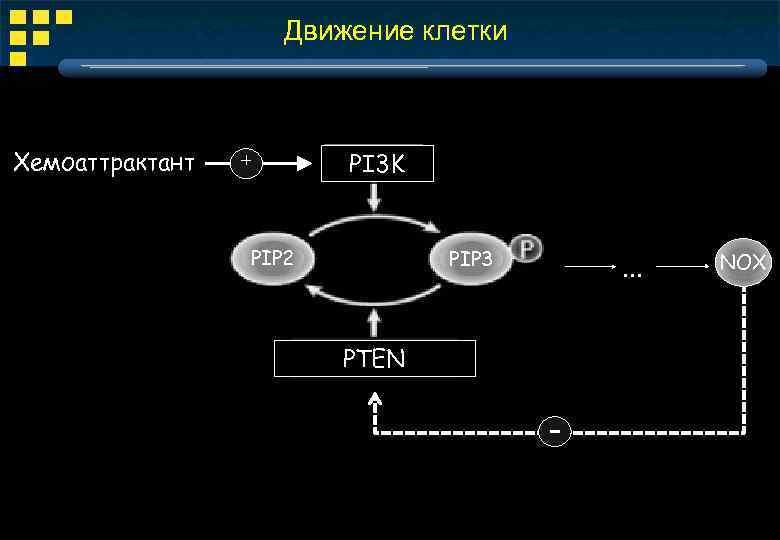 Движение клетки Хемоаттрактант + PI 3 K PIP 2 PIP 3 . . .