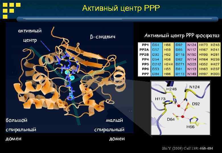 Активный центр РРР активный центр большой спиральный домен β-сэндвич Активный центр РРР фосфатаз малый