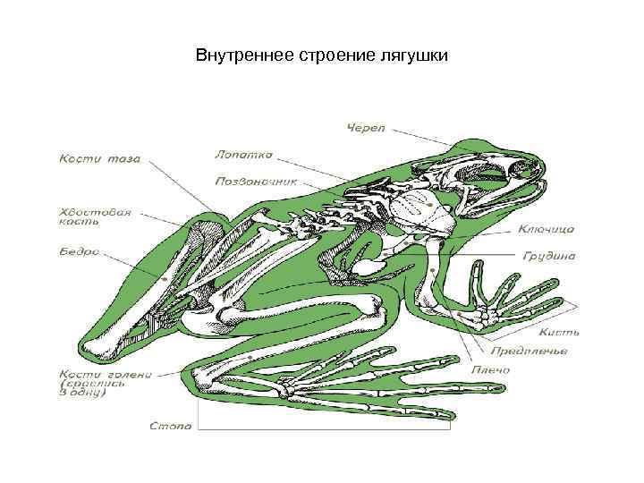 свое внутренне строение лягушки картинки использовании