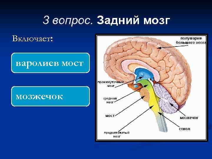 3 вопрос. Задний мозг Включает: варолиев мост мозжечок