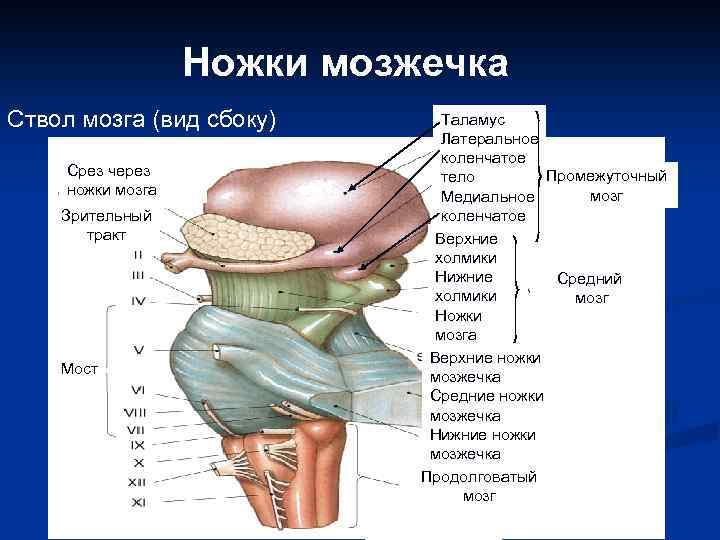 Ножки мозжечка Ствол мозга (вид сбоку) Срез через ножки мозга Зрительный тракт Мост Таламус