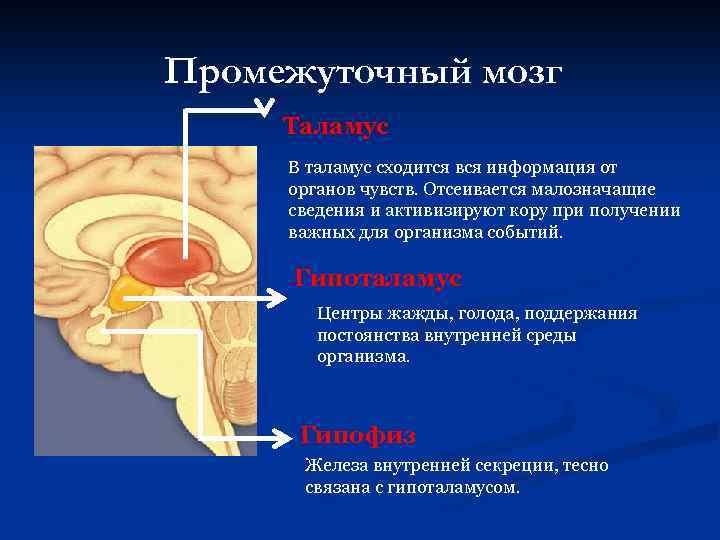 Промежуточный мозг Таламус В таламус сходится вся информация от органов чувств. Отсеивается малозначащие сведения