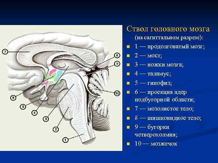 Ствол головного мозга n . (на сагиттальном разрезе): n n n n n 1