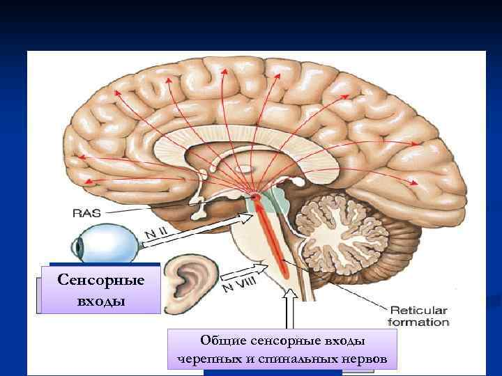 Сенсорные входы Общие сенсорные входы черепных и спинальных нервов