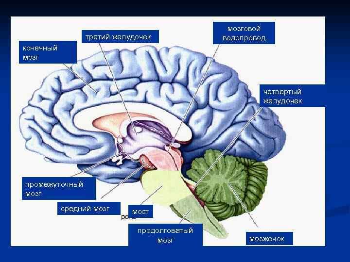 третий желудочек мозговой водопровод конечный мозг четвертый желудочек промежуточный мозг средний мозг мост продолговатый
