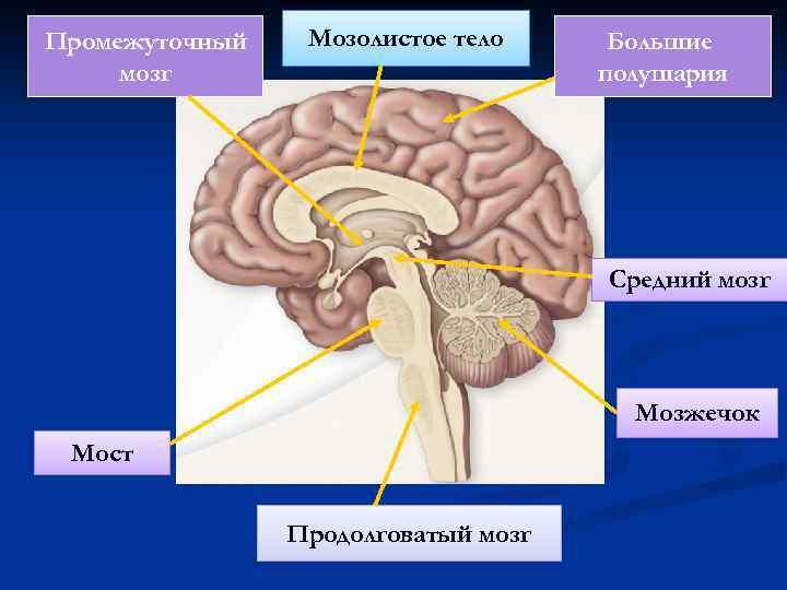 Промежуточный мозг Мозолистое тело Большие полушария Средний мозг Мозжечок Мост Продолговатый мозг