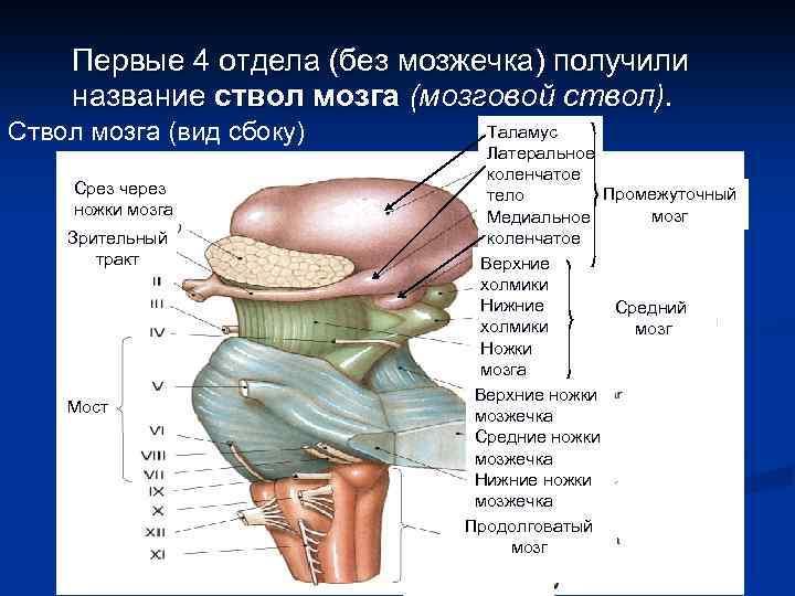 Первые 4 отдела (без мозжечка) получили название ствол мозга (мозговой ствол). Ствол мозга (вид