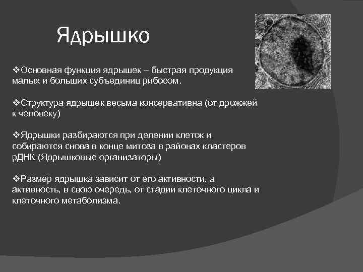 Ядрышко v. Основная функция ядрышек – быстрая продукция малых и больших субъединиц рибосом. v.