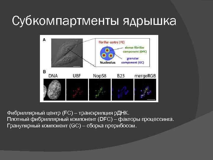 Субкомпартменты ядрышка Фибриллярный центр (FC) – транскрипция р. ДНК. Плотный фибриллярный компонент (DFC) –
